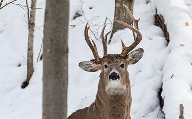 Jelen se třemi parohy. Fotograf zachytil vzácné zvíře, jen pár dní před začátkem lovecké sezóny
