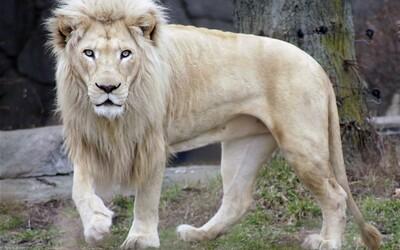 Južná Afrika chce poslať mimoriadne vzácneho bieleho leva do dražby. Na svete už žije len 300 podobných jedincov