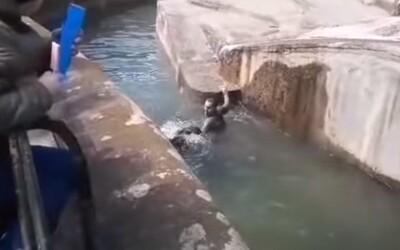 Kamery zachytili opitého mladíka, ktorý preliezol ohradu v ZOO. Po chvíli sa zľakol medvedice a snažil sa ju utopiť