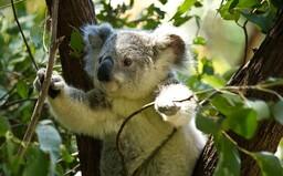 Koaly sú už funkčne vyhynuté, oznámili ochranári