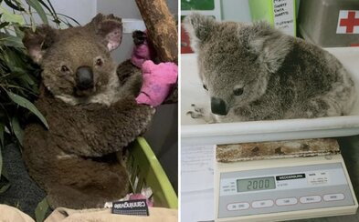 Koaly zranené pri lesných požiaroch v Austrálii už vypúšťajú naspäť do voľnej prírody