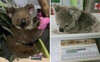 Koaly zraněny při lesních požárech v Austrálii už vypouštějí zpět do volné přírody