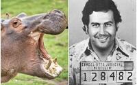 """Kolumbia zasiahla proti """"kokaínovým hrochom"""" Pabla Escobara, ktoré vytláčali pôvodnú faunu. Zvieratá sterilizovali"""