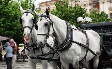 Koňským povozům v Praze hrozí definitivní zákaz. Aktivisté hovoří o týrání zvířat