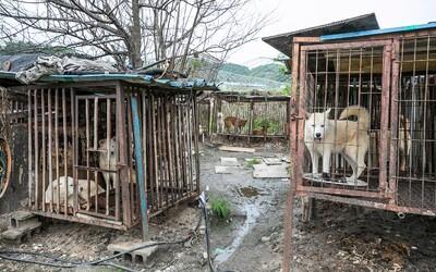 Kórejský bitúnok zabíjal psy elektrinou, aby ich zákazníci mohli jesť. Úrady z neho teraz zachránili 85 zvierat