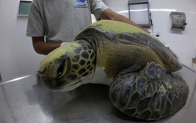 Korytnačka, ktorú zachránili z rybárskej siete, týždne vylučovala iba plasty