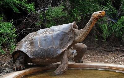 Korytnačka s obrovským sexuálnym apetítom zachránila vlastný druh takmer úplne sama. Diego je otcom viac než 800 potomkov