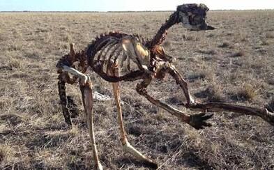 Kostra mŕtvej kengury v Austrálii svedčí o hrozivom suchu, ktoré kontinent postihlo