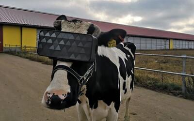 Kravám na hlavu navliekli VR headsety, aby mali lepšiu náladu a produkovali kvalitnejšie mlieko