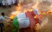 Kravy boli nútené skákať cez oheň. Indovia veria, že si týmto spôsobom zabezpečia úspešný rok