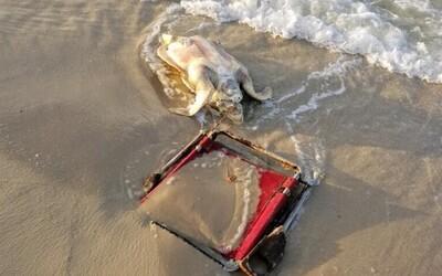Kriticky ohroženou želvu zabila plážová stolička omotaná kolem jejího krku