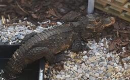 Krokodýl, který utekl majiteli v Ostravě, se stále nenašel. Bez potravy je třetí den, zřejmě vyhledá okolí vodních toků a stín