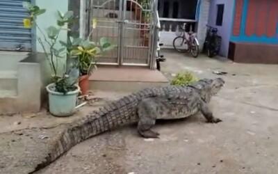 Krokodýl si vykračoval po vesnici. Vystrašení lidé museli přivolat ochranáře