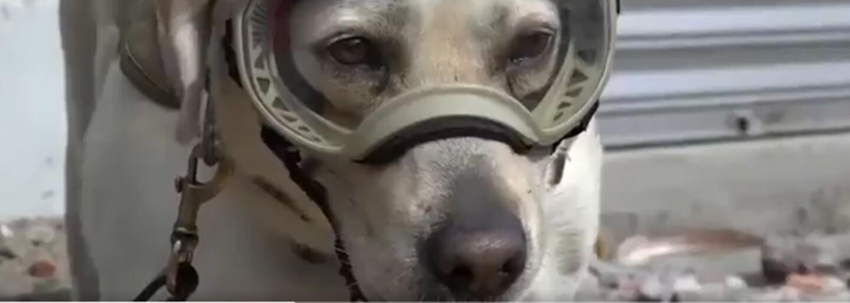 Labrador Frida zachraňuje ľudské životy. Fenka pomohla nájsť v ruinách budov už 12 odsúdených na smrť
