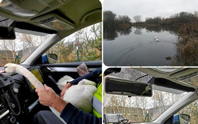 Labutě si hrdě vykračovaly po dálnici D6, zachránila je až policie