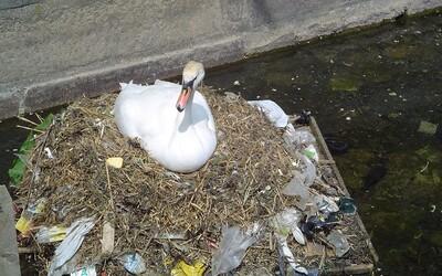 Labutě z kodaňských kanálů si svá hnízda staví z odpadků. Domov z plastového odpadu jim ovšem může být osudným