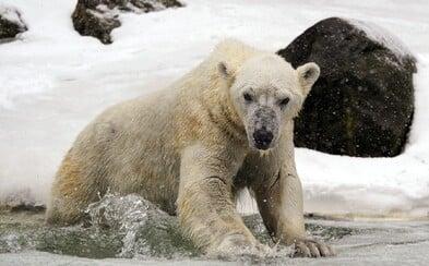 Lední medvědi by mohli vyhynout do roku 2100. Pokud ledovce roztají, nebudou mít kam jít, varují vědci
