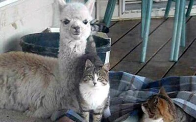Lama Lacey a jej kamošky mačky
