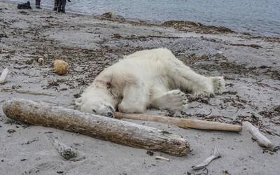 Ledního medvěda na Špicberkách zastřelili kvůli turistům. Napadl strážníka, který výletníky ochraňoval v přirozeném prostředí zvířete