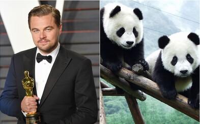 Leo konečne s Oscarom, panda veľká nie je ohrozený druh a vyvinuli sme vakcínu proti ebole. Rok 2016 nakoniec nebol vôbec takým zlým