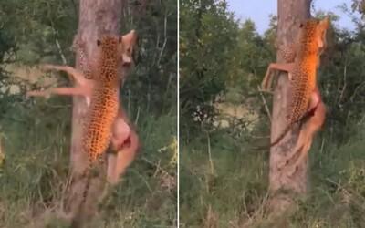 Leopard bez problémov vyniesol na strom svoju korisť. Poradí si aj so zverou, ktorá má 3-krát väčšiu hmotnosť ako on