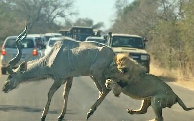 Lev sa priamo pred turistami vrhol na antilopu. Autentické video zobrazuje kruté zákony prírody