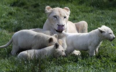 Levica zabila a zjedla svoje mláďatá pár dní po pôrode. Dovtedy sa o nich vzorne starala
