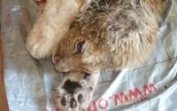 Levíčatku schválne zlomili labky, aby neušlo pri fotení: Po náročnej operácii sa opäť naučilo chodiť