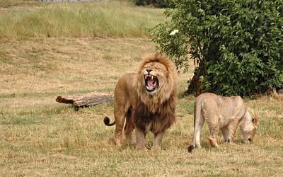 Levy zožrali troch pytliakov, ktorí chceli v rezervácii zabiť nosorožce. Našli pri nich nástroje aj hromadu zbraní