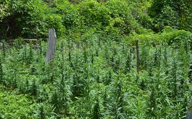 Libanon v čase pandémie legalizoval pestovanie marihuany na medicínske účely ako prvá arabská krajina