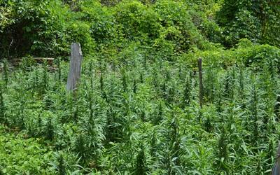 Libanon v době pandemie legalizoval pěstování marihuany pro lékařské účely jako první arabská země