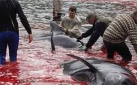 Lovci zabili 23 velryb. Moře se krví zbarvilo do ruda