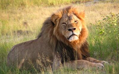 Lovci zabili už i syna světoznámého lva Cecila, kterého zastřelil americký zubař. Xanda zemřel nedaleko místa, kde jeho otec