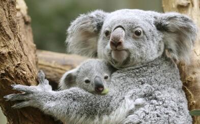 Ľudia na pomoc koalám vyzbierali cez milión dolárov. Požiare v Austrálii zničili 80 % ich prirodzeného prostredia