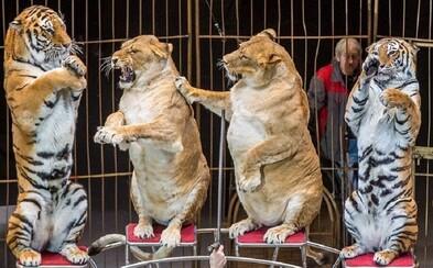 Lidé jsou zhrozeni ze lvic z ruského cirkusu. Dle nich jsou obézní, trenér však tvrdí, že jsou jen staré a hodně spí