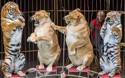 Ľudia sú zhrození z levíc v ruskom cirkuse. Podľa nich sú obézne, ich tréner tvrdí, že sú len staré a veľa spia