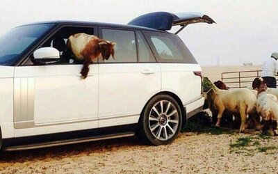 Luxusný Range Rover ako kŕmidlo pre ovce? V Saudskej Arábii žiadny problém!