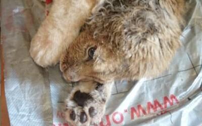 Lvíčatku zlomili tlapky, aby neutíkalo před turisty: Po náročné operaci se opět naučilo chodit