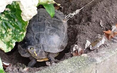 Majitelé vyvrtali díru do želvy a přivázali ji ke stromu, aby jim během dovolené neutekla. Zvíře si vytrpělo obrovské bolesti