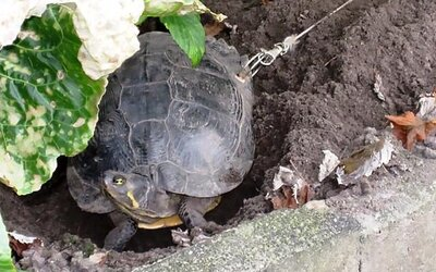 Majitelia do korytnačky vyvŕtali dieru a priviazali ju o strom, aby im cez dovolenku neušla. Zviera si vytrpelo obrovské bolesti