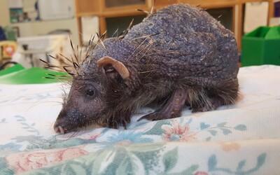 Maličkému ježkovi kvůli stresu vypadaly skoro všechny bodliny. Masáže mu pomáhají relaxovat