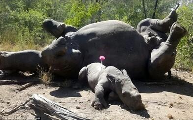 Malý nosorožec sa snažil zachrániť mamu pred pytliakmi. Na Arthura však použili zbraň s mačetami a dospelé zviera zabili
