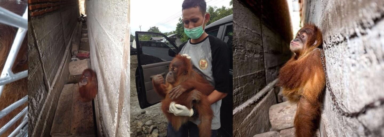 Malý orangutan Mingky strávil rok priviazaný k stene. Musí objímať samého seba, aby vôbec zaspal