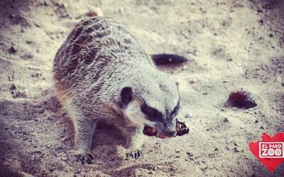 Máš za sebou těžký rozchod? Pojmenuj švába po svém bývalém a dej ho sežrat surikatě