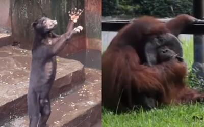 Medvede hladujú a turistov prosia o jedlo, orangutany fajčia. V indonézskej zoo prežívajú zvieratá smutné i hrozivé chvíle
