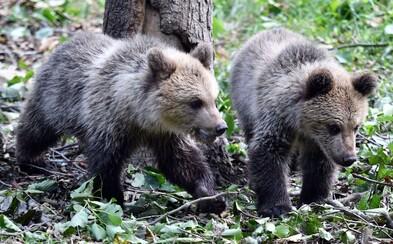 Medvede tento rok na Slovensku napadli 5 ľudí. Je to viac, než vlani