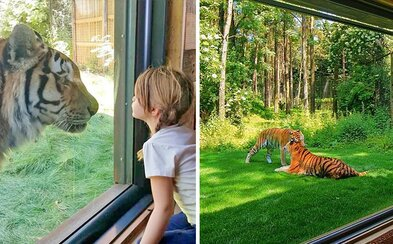 Místo, kde se pár centimetrů od tebe procházejí obrovští tygři. Anglické safari momentálně nabízí možnost přenocování