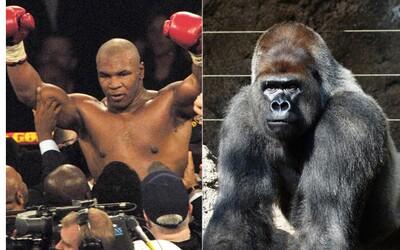 Mike Tyson sa raz chcel pobiť s gorilou. Zoologickej záhrade ponúkol 10 000 dolárov, aby ju mohol potrestať za šikanu