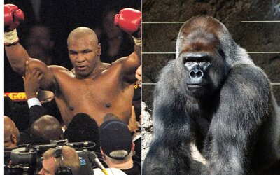 Mike Tyson se chtěl jednou poprat s gorilou. Zoologické zahradě nabídl 10 tisíc dolarů, aby ji mohl potrestat za šikanu