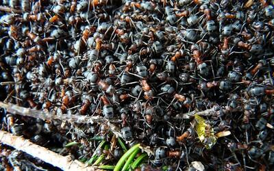 Milióny kanibalských mravcov sa v atómovom kryte navzájom požierali. Vedci ich nakoniec vypustili do prírody